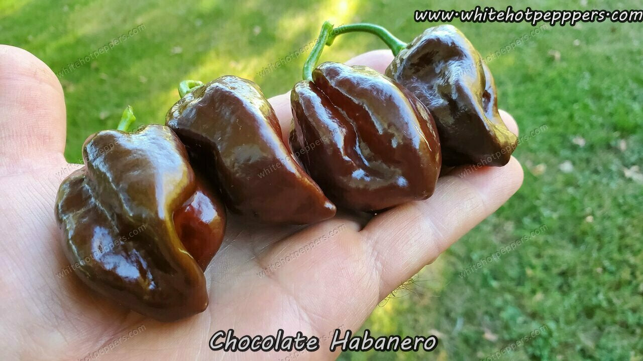 Habanero Chocolate (Isolated) - Pepper Seeds - White Hot Peppers