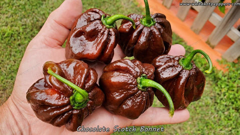 Scotch Bonnet Chocolate - Pepper Seeds - White Hot Peppers