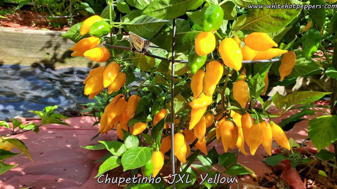 Chupetinho JXL Yellow - Pepper Seeds - White Hot Peppers