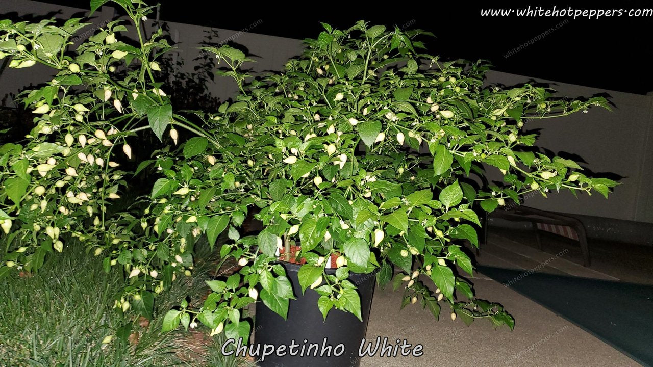 Chupetinho White - Pepper Seeds - White Hot Peppers