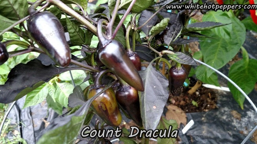 Count Dracula - Pepper Seeds - White Hot Peppers