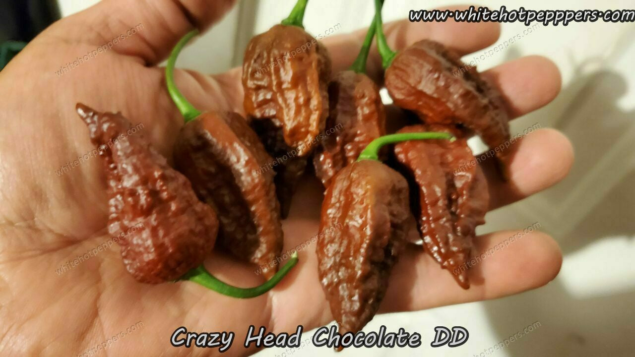 Crazy Head Chocolate DD - Pepper Seeds - White Hot Peppers