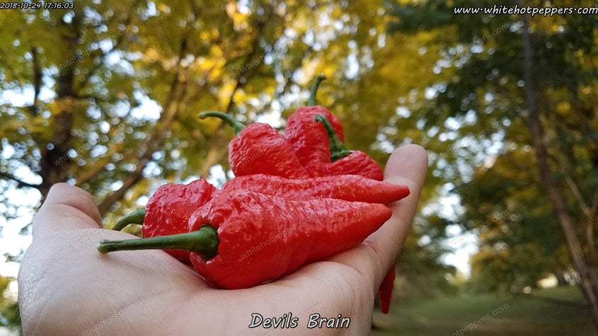 Devil's Brain - Pepper Seeds - White Hot Peppers