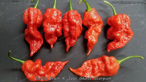 Devil's Brain x JPGS - Pepper Seeds - White Hot Peppers