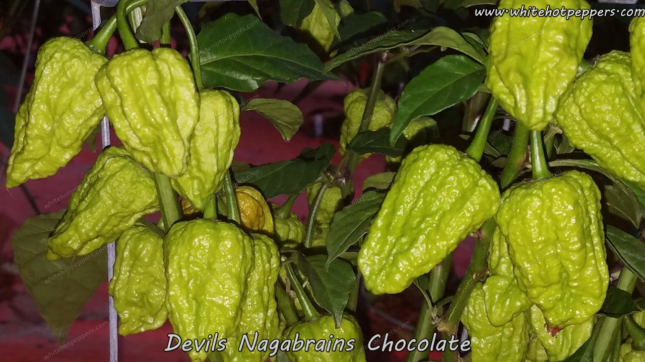 Devil's Nagabrains Chocolate - Pepper Seeds - White Hot Peppers