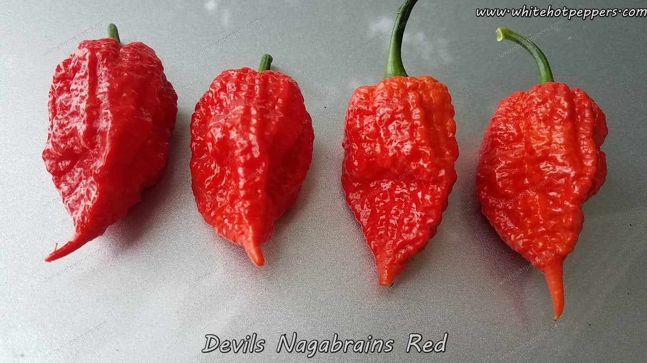 Devil's Nagabrains Red - Pepper Seeds - White Hot Peppers