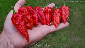 Devil's Rib - Pepper Seeds - White Hot Peppers
