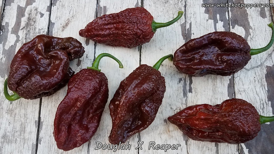 Douglah x Reaper - Pepper Seeds - White Hot Peppers
