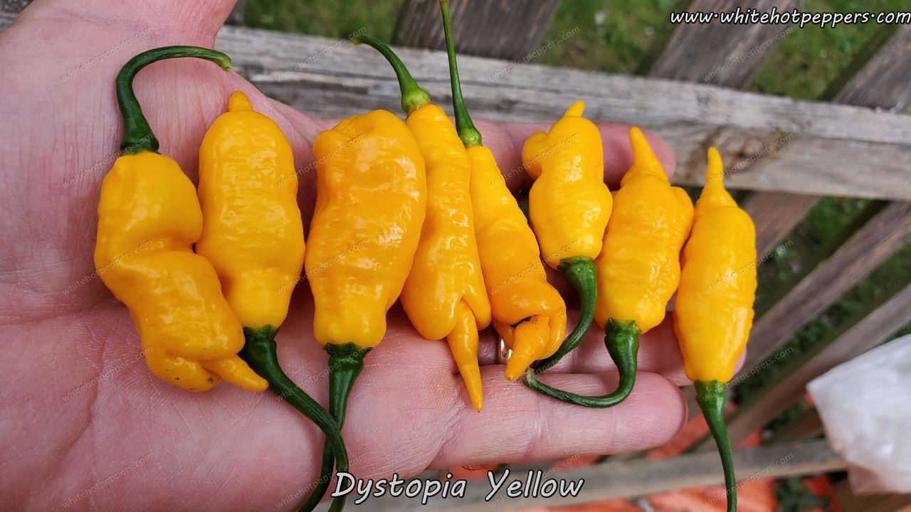 Dystopia Yellow - Pepper Seeds - White Hot Peppers