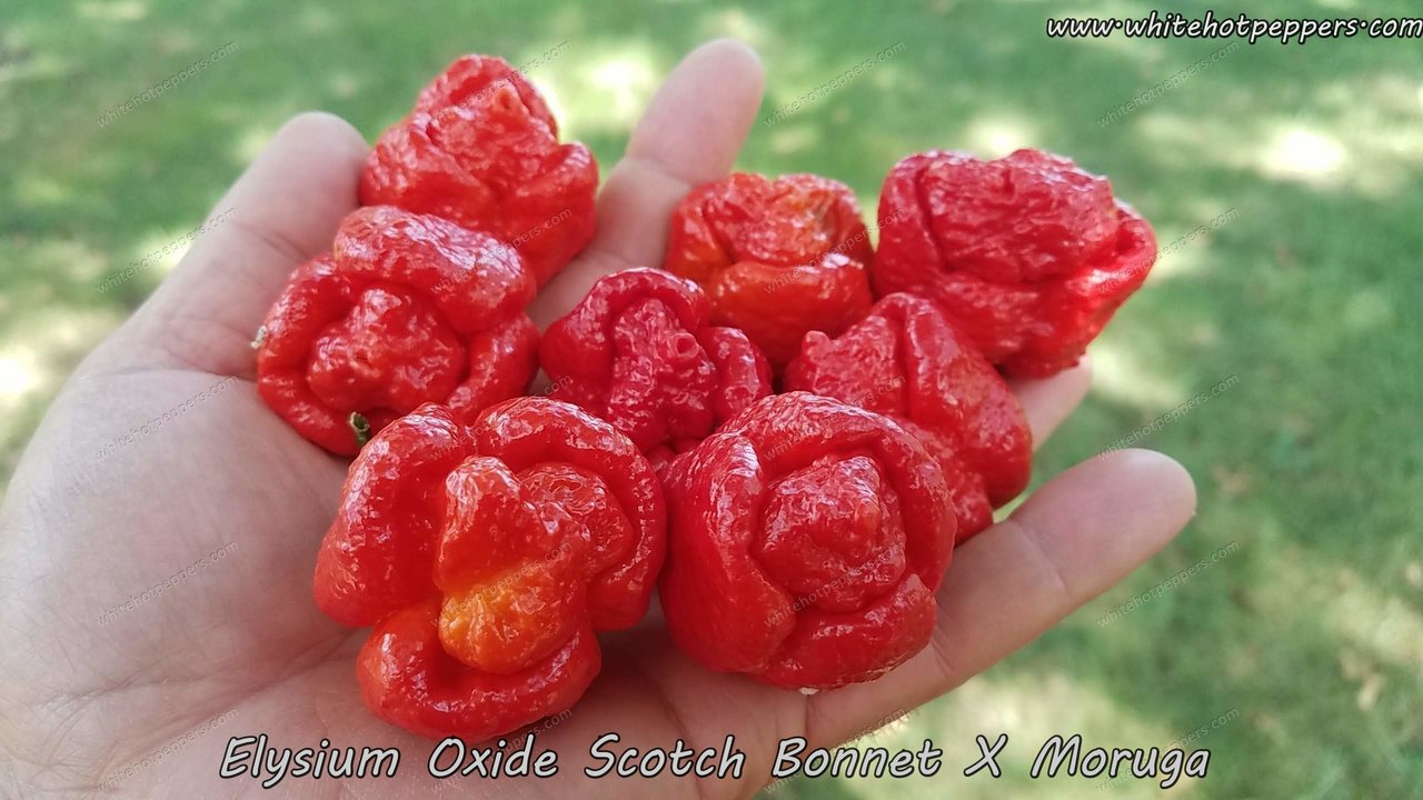Elysium Oxide Scotch Bonnet x Moruga - Pepper Seeds - White Hot Peppers