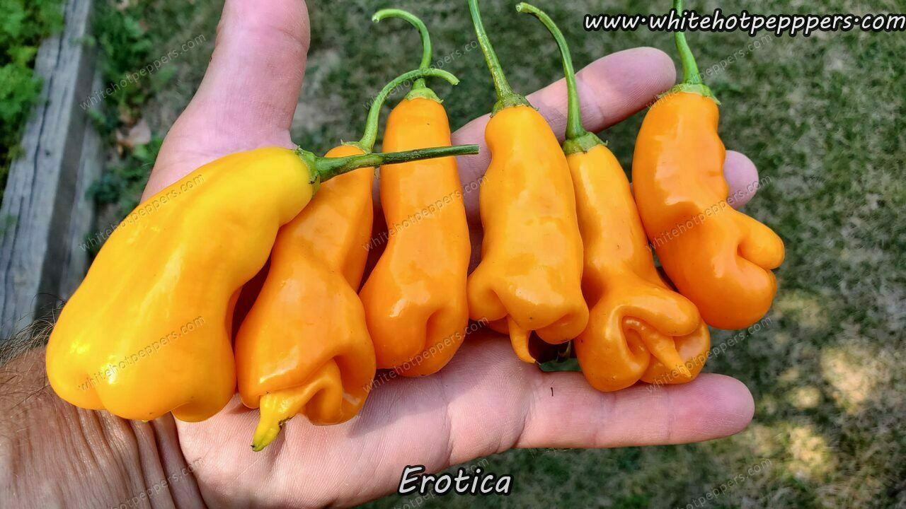 Erotica - Pepper Seeds - White Hot Peppers
