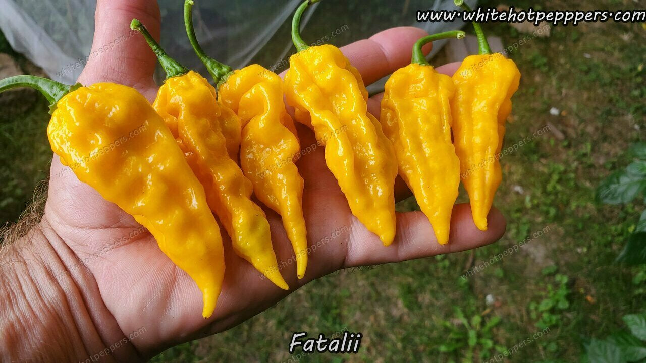 Fatalii - Pepper Seeds - White Hot Peppers