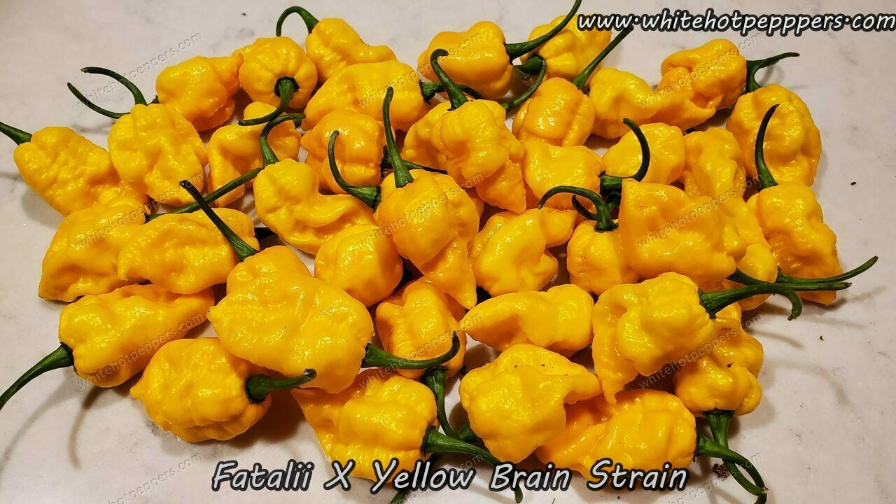 Fatalii x Yellow Brain Strain - Pepper Seeds - White Hot Peppers