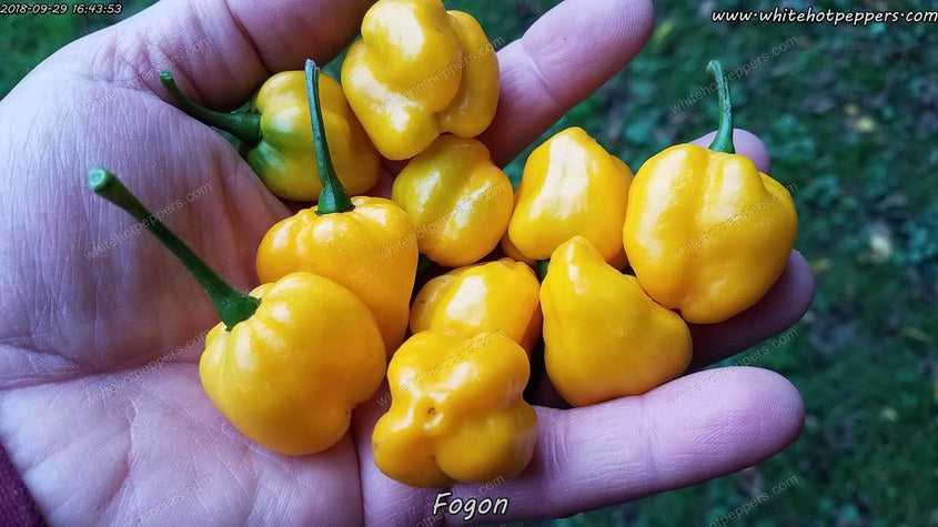 Fogon - Pepper Seeds - White Hot Peppers