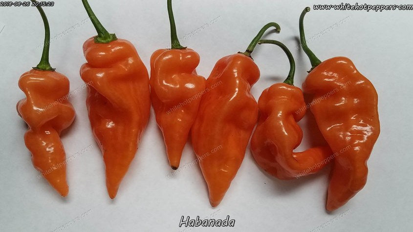 Habanada - Pepper Seeds - White Hot Peppers
