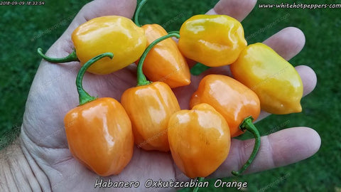 Habanero Oxkutzcabian Orange - Pepper Seeds - White Hot Peppers