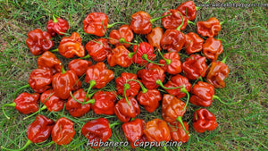 Habanero Cappuccino - Pepper Seeds - White Hot Peppers