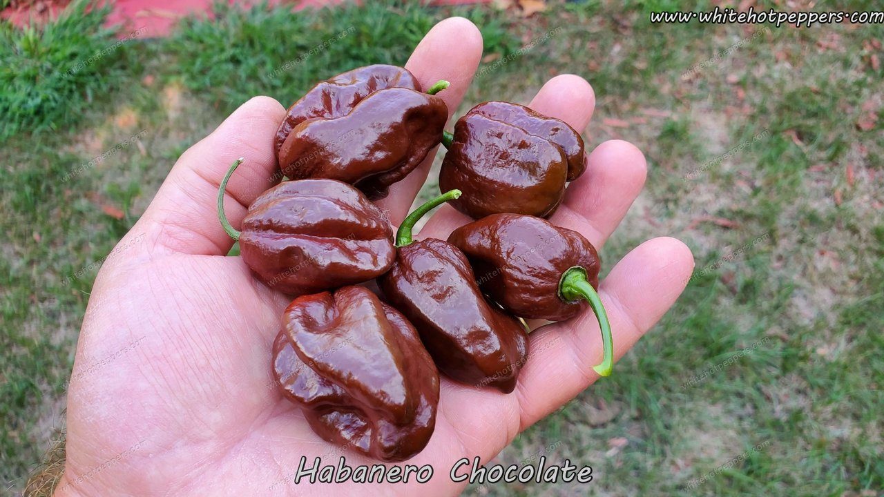 Habanero Chocolate - Pepper Seeds - White Hot Peppers