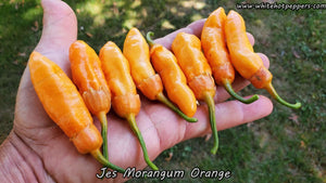 Jes's Morangum Orange - Pepper Seeds - White Hot Peppers