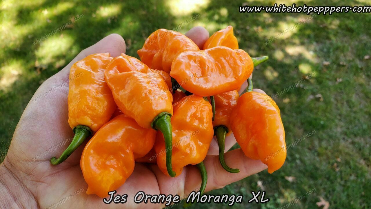 Jes's Moranga Orange XL - Pepper Seeds - White Hot Peppers