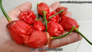 Jes's Morangum Red - Pepper Seeds - White Hot Peppers