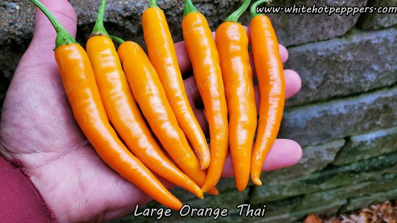 Large Orange Thai - Pepper Seeds - White Hot Peppers