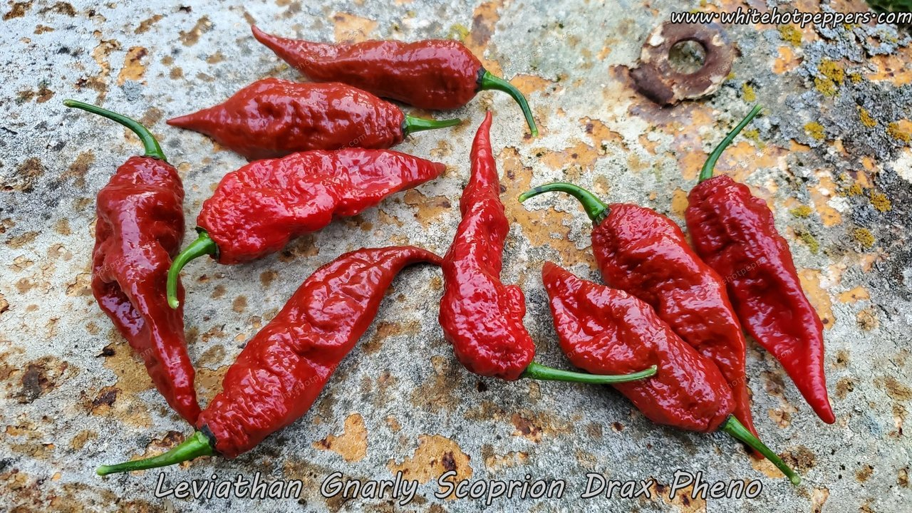Leviathan Gnarly Scorpion (Drax Pheno) - Pepper Seeds - White Hot Peppers