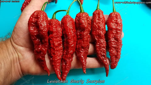Leviathan Gnarly Scorpion - Non Isolated Seeds - White Hot Peppers
