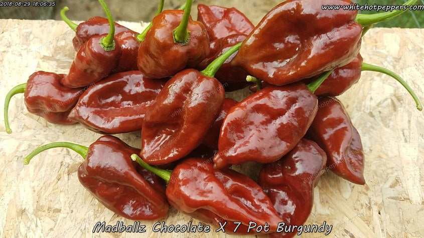 Madballz Chocolate x 7 Pot Burgundy - Pepper Seeds - White Hot Peppers