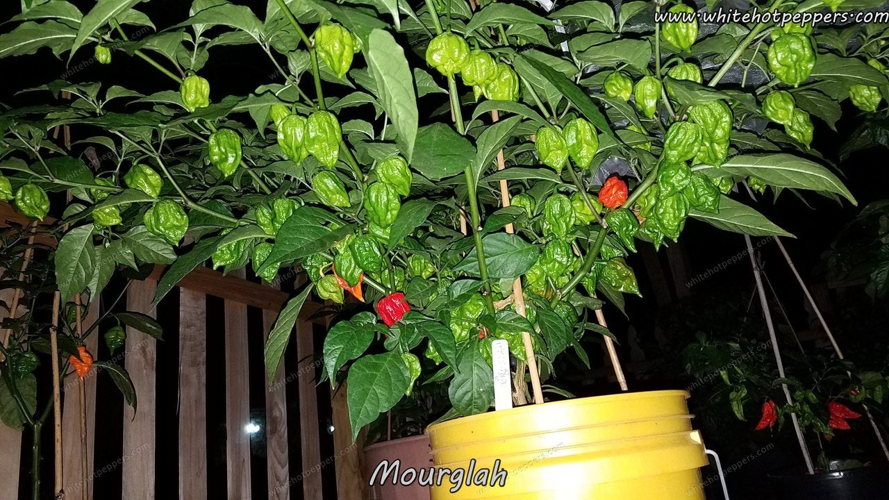 Moruglah F4 - Pepper Seeds - White Hot Peppers