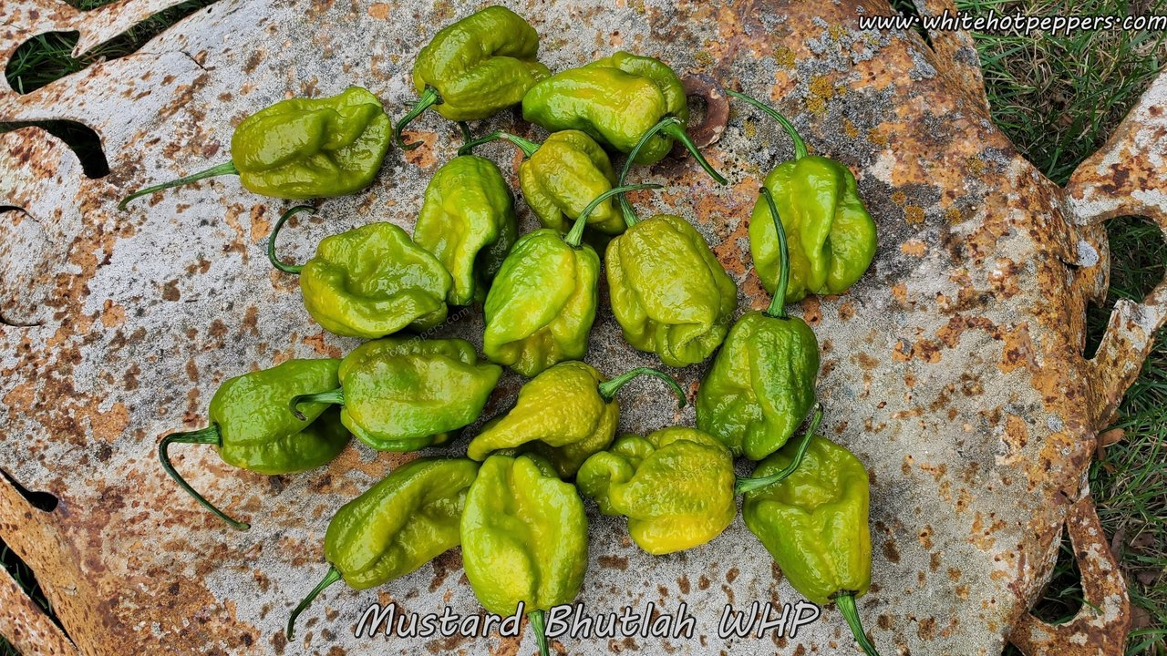 Mustard Bhutlah WHP - Pepper Seeds - White Hot Peppers