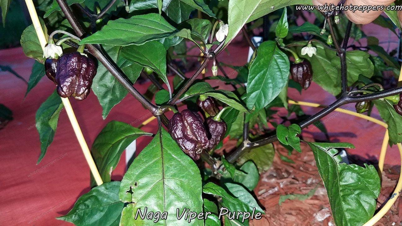 Purple Naga Viper - Pepper Seeds - White Hot Peppers