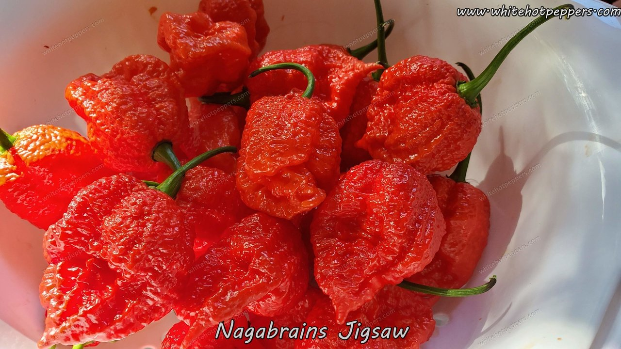 Nagabrains Yellow x Pumpkintail - Pepper Seeds - White Hot Peppers
