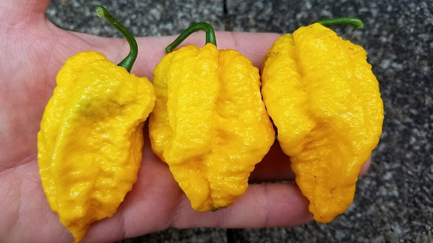 Nagabrains Yellow - Pepper Seeds - White Hot Peppers