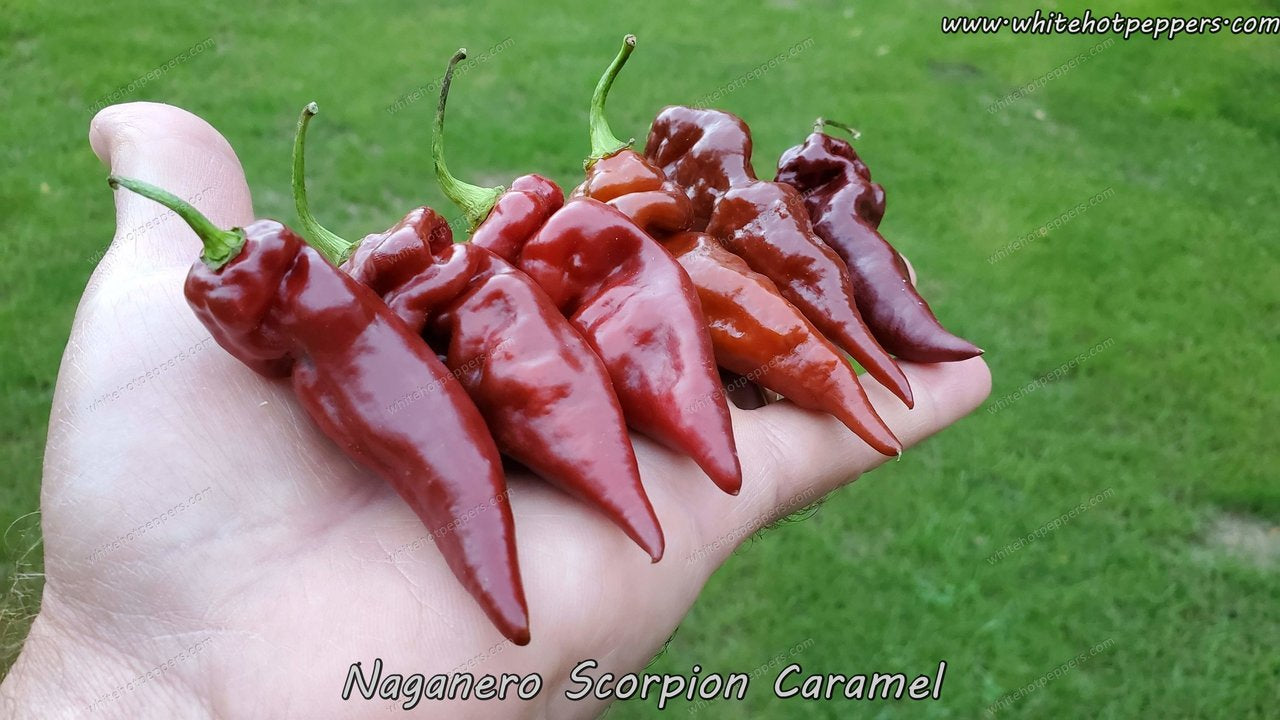 Naganero Scorpion Caramel - Pepper Seeds - White Hot Peppers