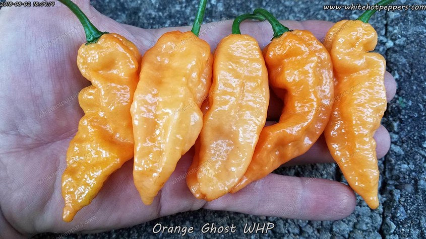Orange Ghost WHP - Pepper Seeds - White Hot Peppers