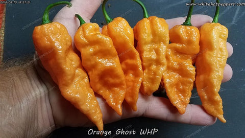 Orange Ghost WHP - Non Isolated Seeds - White Hot Peppers