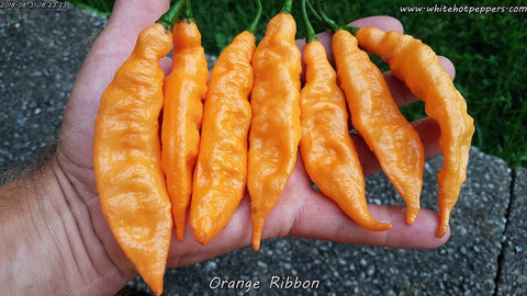 Orange Ribbon - Non Isolated Seeds - White Hot Peppers