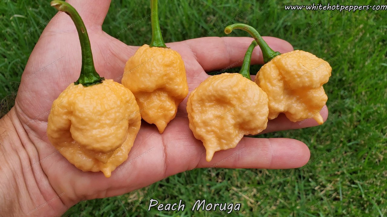 Peach Moruga - Pepper Seeds - White Hot Peppers
