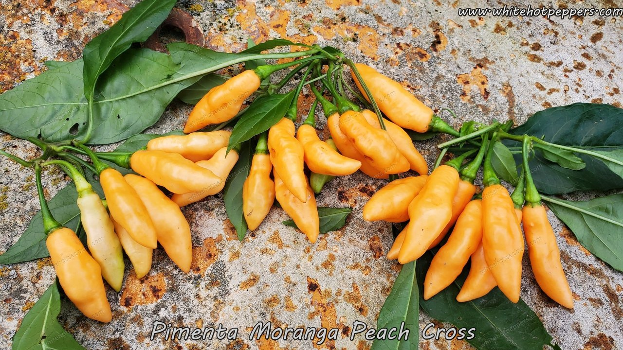 Pimenta Moranga Peach Cross - Pepper Seeds - White Hot Peppers