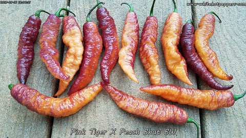 Pink Tiger x Peach Bhut (Thin Pheno) - Pepper Seeds - White Hot Peppers