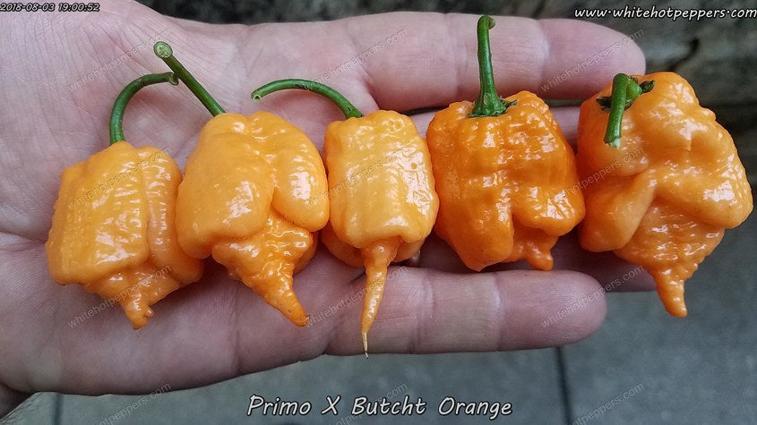 Primo x Butch T Orange - Pepper Seeds - White Hot Peppers