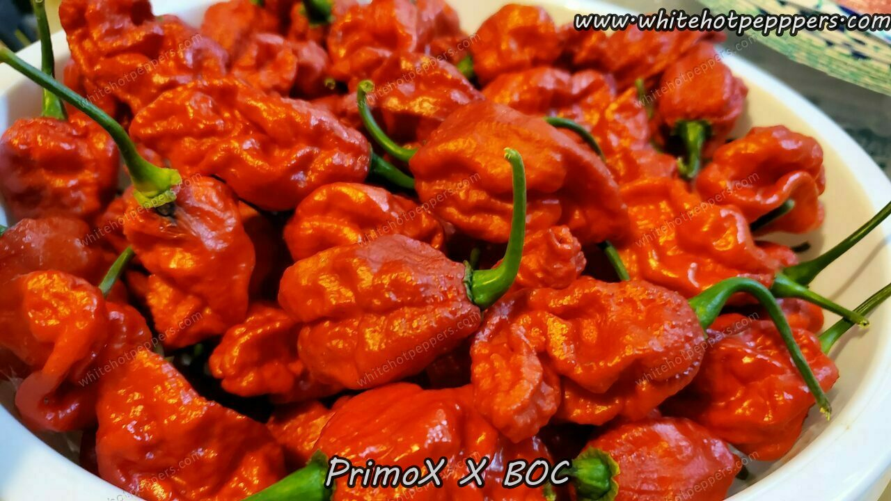 PrimoX x BOC - Pepper Seeds - White Hot Peppers