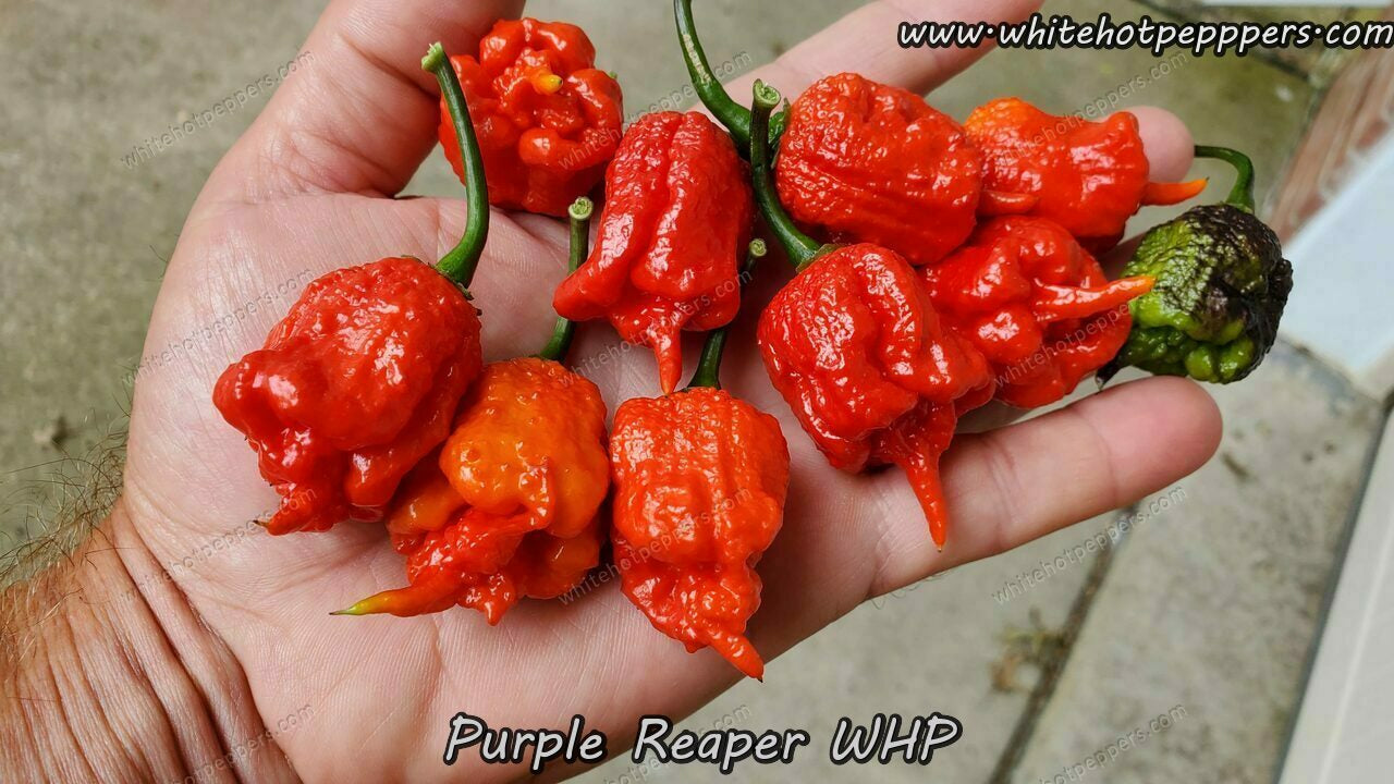 Purple Reaper WHP - Pepper Seeds - White Hot Peppers