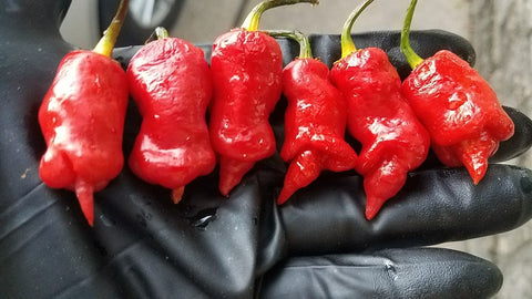 Reaper x Lemon Drop - Pepper Seeds - White Hot Peppers