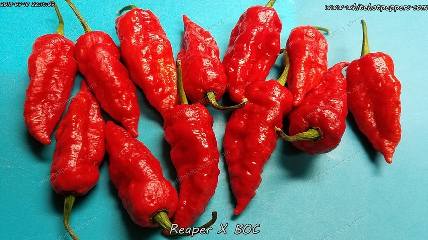 Reaper x BOC - Pepper Seeds - White Hot Peppers