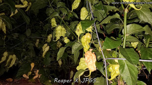 Reaper x Jay's Peach Ghost Scorpion (Isolated) - Pepper Seeds - White Hot Peppers