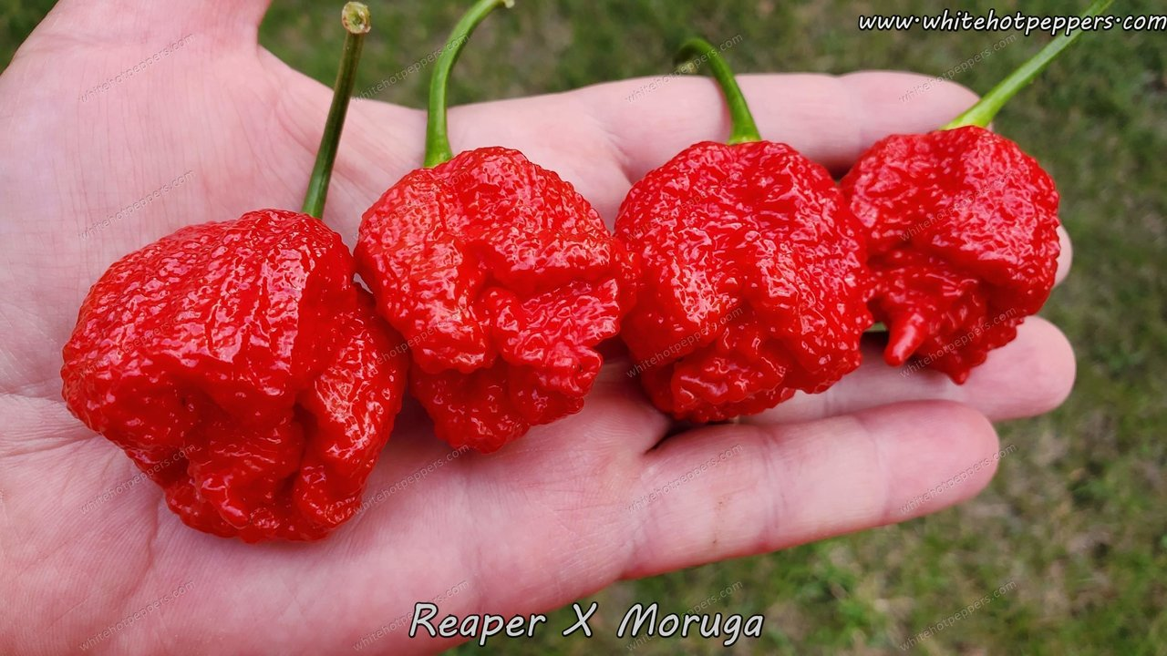 Reaper x Moruga - Pepper Seeds - White Hot Peppers