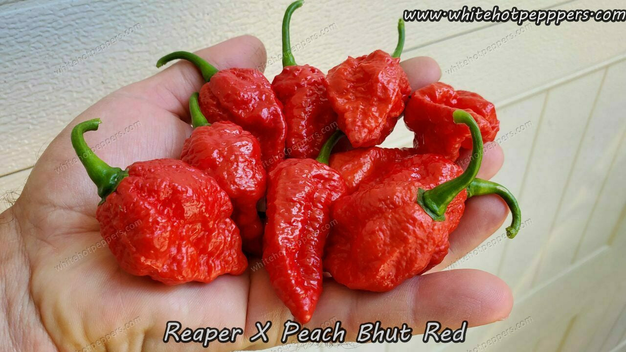 Reaper x Peach Bhut (Red) - Pepper Seeds - White Hot Peppers