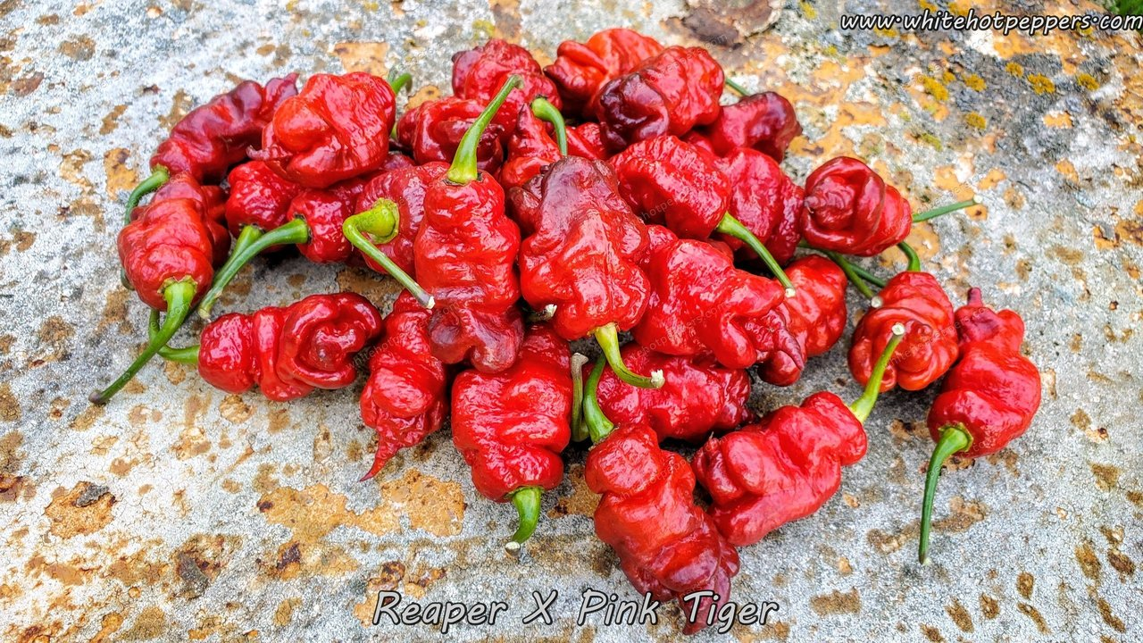 Reaper x Pink Tiger (Red) - Pepper Seeds - White Hot Peppers